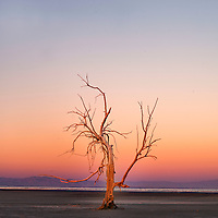 A dead tree at the south end of the Salton Sea near Red Hill Marina, 2013. In 2007, the same tree was underwater and used by birds for nesting. Today coyotes and other predators can access the tree due to the Salton Sea drying out. The birds have since moved on.