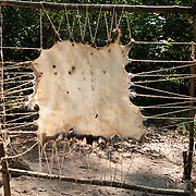 "Animal hide is stretched and dried at Powhatan Indian Village at Jamestown Settlement, Virginia, USA. Jamestown, the first permanent English settlement in the Americas, was founded as James Fort in 1607 within an area controlled by the Paspahegh tribe, which was part of the Powhatan Confederacy of tribes, Tsenacommacah, comprised of about 14,000 native people ruled by Wahunsonacock (sometimes called Powhatan). ""Jamestown Settlement"" is the Commonwealth of Virginia's portion of the historical sites and museums at Jamestown. Created as part of the 350th anniversary celebration in 1957 as Jamestown Festival Park, Jamestown Settlement is adjacent to the complementary ""Historic Jamestowne"" museum (which is on Jamestown Island, is the actual historic and archaeological site where the first settlers lived, and is run by the National Park Service and Preservation Virginia)."