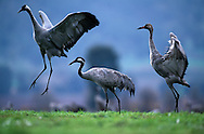 European crane family on wintering grounds, Lake Agmon, Hula Valley, Israel