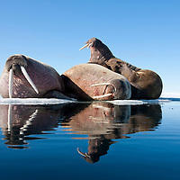 Norway, Svalbard, Spitsbergen Island, Three Walrus (Odobenus rosmarus) resting in summer sunshine on ice floe