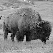 Grazing Bison - Yellowstone National Park - Infrared Black & White