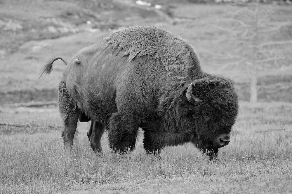 Grazing Bison - Yellowstone National Park - Infrared Black & White