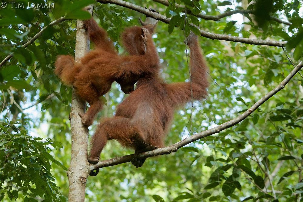 Bornean Orangutan <br />Wurmbii Sub-species<br />(Pongo pygmaeus wurmbii)<br /><br />Adult female Beth with juvenile son Benny (approx age 5)<br />Nursing<br /><br />Gunung Palung Orangutan Project<br />Cabang Panti Research Station<br />Gunung Palung National Park<br />West Kalimantan Province<br />Island of Borneo<br />Indonesia