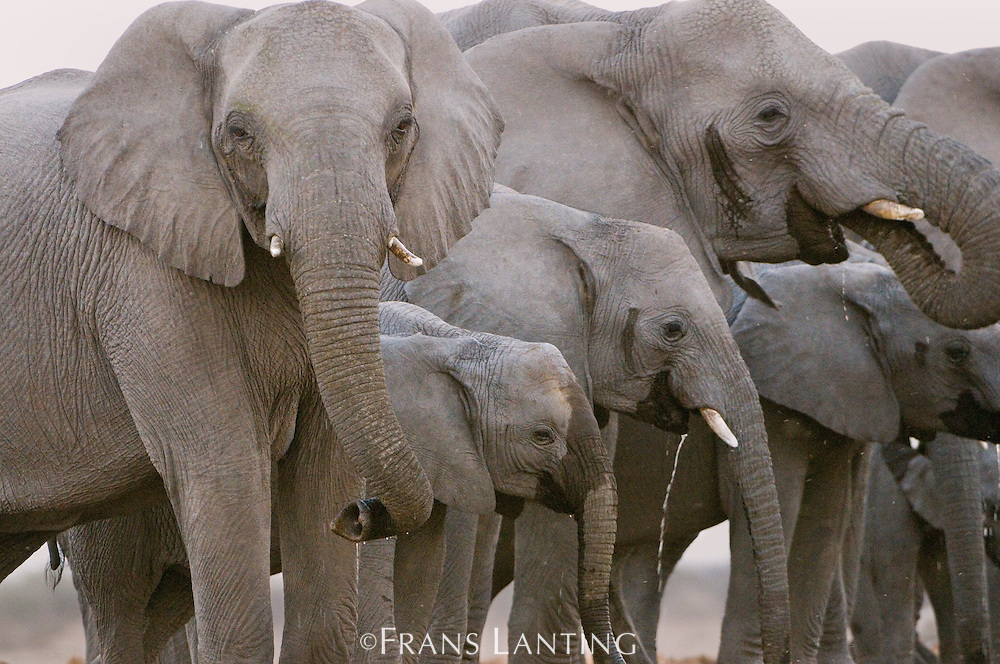 Elephants, Loxodonta africana, females and offspring at water hole, Etosha National Park, Namibia