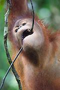 Portrait of Young Bornean Orangutan biting a twig, Pongo pygmaeus morio, Orang Utan Sanctuary Sepilok, Sabah, Borneo