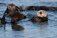 Male California Sea Otter (Enhydra lutris) - Monterey, California