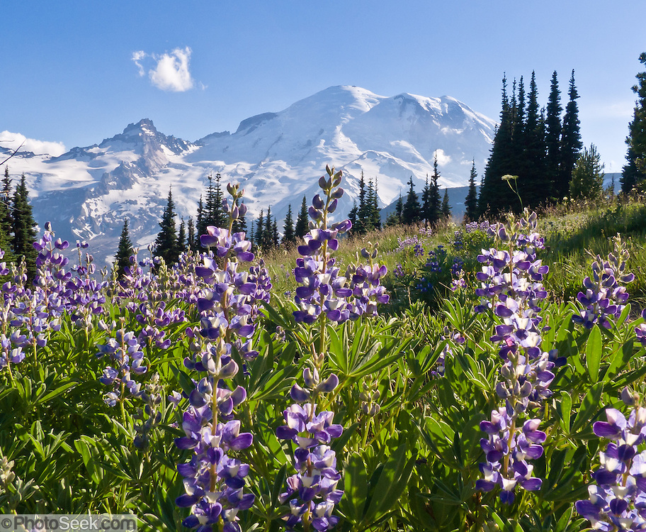 Afternoon sun hits Mount Rainier (14,411 feet elevation) and lupine flowers near Sunrise Visitor Center, Mount Rainier National Park, Washington, USA. Lupinus is a genus in the pea family (also called the legume, bean, or pulse family, Latin name Fabaceae or Leguminosae).