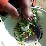 May 2010, Lesotho. Farming activity as the maize harvest is brought in before the winter. Spinach from their own garden is prepared.