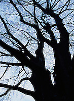 A silhouette of a Beech tree at sunset<br />