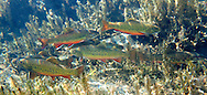 Brook Trout (in a beaver pond)<br />