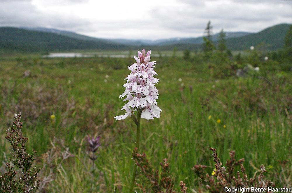 Wild orchids in Norway. Ville orkideer, fra Selbu og Tydal i Trøndelag. Flekkmarihand (Dactylorhiza maculata)er den vanligste orkideen i Norge. The Heath Spotted Orchid or Moorland Spotted Orchid.