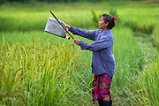 Morning Bird Patrol to protect the young rice plants in rural Nakhon Nayok, Thailand PHOTO BY LEE CRAKER