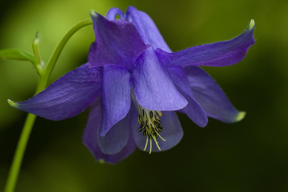 purple columbine aguilegia vulgaris  kristel schneider  nature, Beautiful flower
