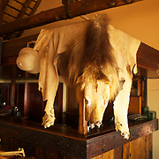 Lion skin in the bar at the Safari Lodge at the Hluhluwe Umfolozi game reserve.  Northern KwaZulu Natal, South Africa