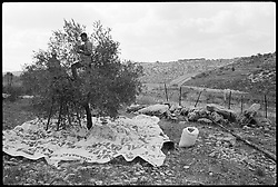 Palestinians in the town of Jayyous gather olives from their trees just next to Israel's barrier in the occupied West Bank.