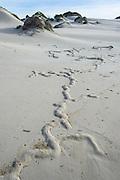 Cape Mole-Rat burrows on the sandy beach, De Mond Nature Reserve, Western Cape, South Africa