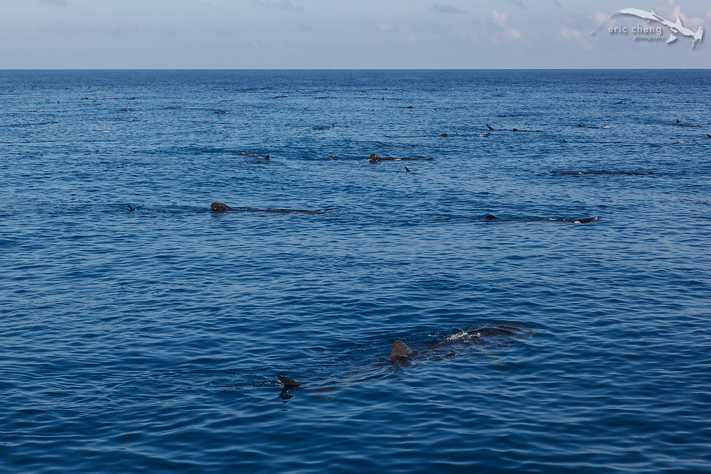 Hundreds of whale sharks (Rhincodon typus) aggregate to feed on bonito spawn off of Isla Mujeres, Mexico.
