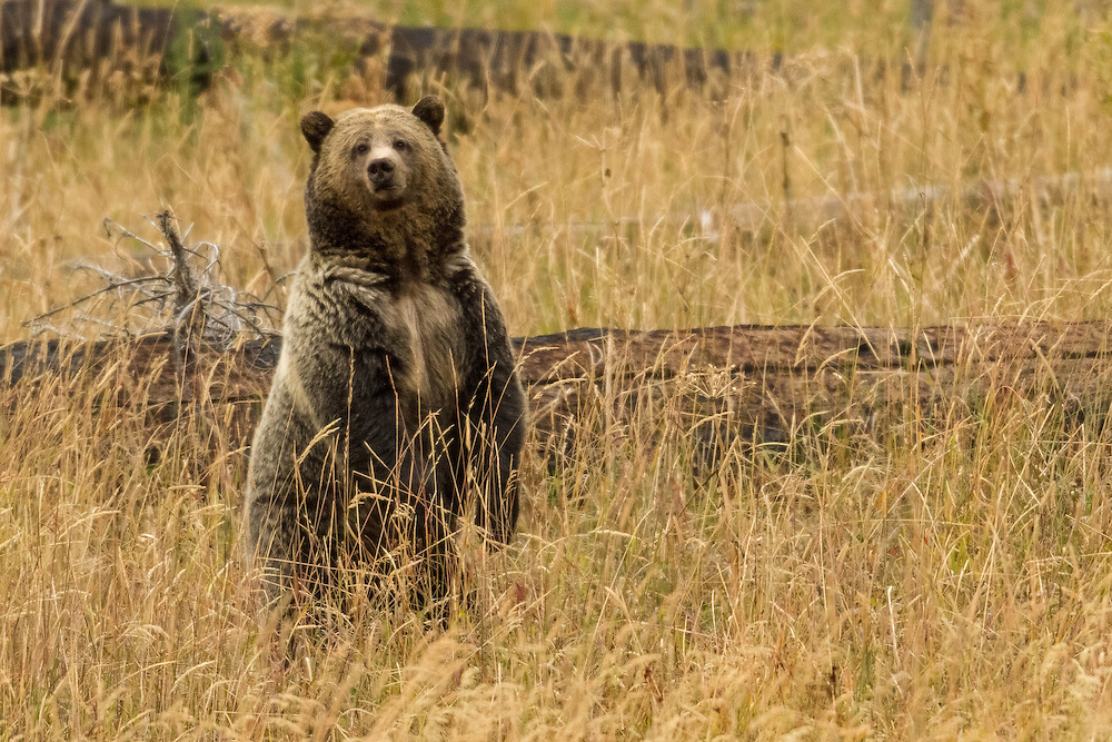 In the recent past, it was thought that when bears stood on their hind legs it was a sign of aggression.  However, researchers have determined that bears often stand in this manner when they are curious about something they see, smell or hear.