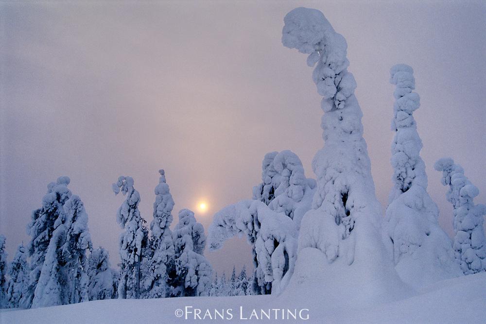 Spruces in snow, Picea obovata, Finland