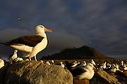 Pete OXFORD, Black-browed Albatross, ENDANGERED<br /> Julio Zaldumbide 506 y Toledo, Quito, Ecuador, South America.<br /> Tel: 593-2-2226958      Mail: pete@peteoxford.com<br /> <br /> Black-browed Albatross (Thalassarche melanophrys)<br /> Steeple Jason Island. FALKLAND ISLANDS.<br /> LISTED AS ENDANGERED