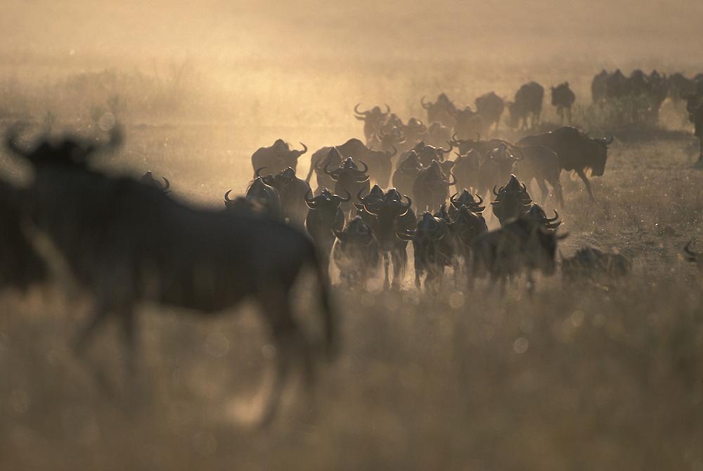 Kenya, Masai Mara Game Reserve, Herds of Wildebeest (Connochaetes taurinus) crossing savanna during Serengeti migration