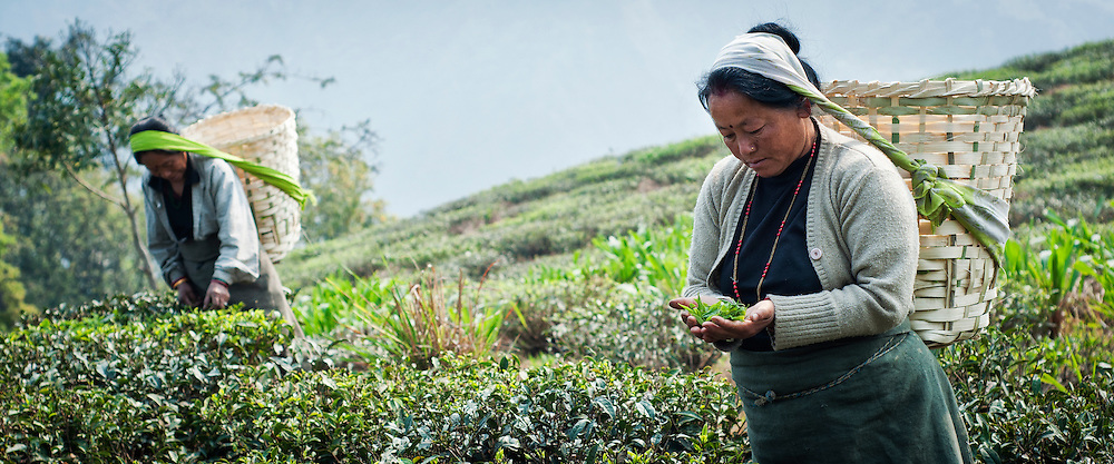 A woman inspects the tea leaves she has just plucked before placing them in her basket.