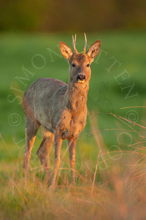 Western Roe Deer (Capreolus capreolus) male in grazing pasture, Norfolk, UK.