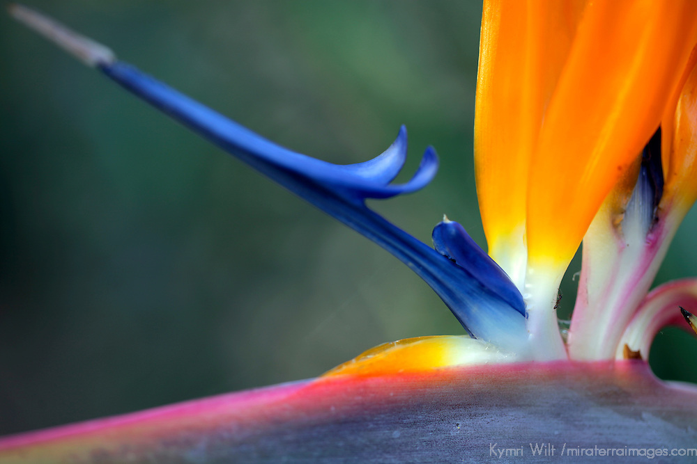USA, California, San Diego. Bird of Paradise (Strelitzia reginae).