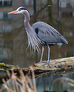 A Great Blue Heron (Ardea herodias fannini) foraging in a small pond at Devonian Harbour Park, near Coal Harbour and Stanley Park in Vancouver, British Columbia, Canada.