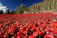 Dried chilis, Valley near Cachi, Valles Calchaquies, Salta, Argentina, South America