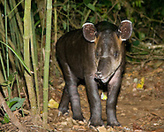 Tapirs, Rhinos, Zebras & Relatives