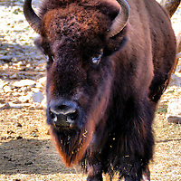 American Bison at Natural Bridge Wildlife Ranch near San Antonio, Texas<br /> This male American bison at the Natural Bridge Wildlife Ranch near San Antonio looked dangerous. I believe he is a wood bison because of his tall, square hump. This subspecies is the heaviest and averages up to 2,000 pounds. In the 15th century, it is estimated sixty million buffalo roamed the United States. By 1890, after extensive hunting, that population dropped to 750 animals. Today, only about 15,000 live in the wild.