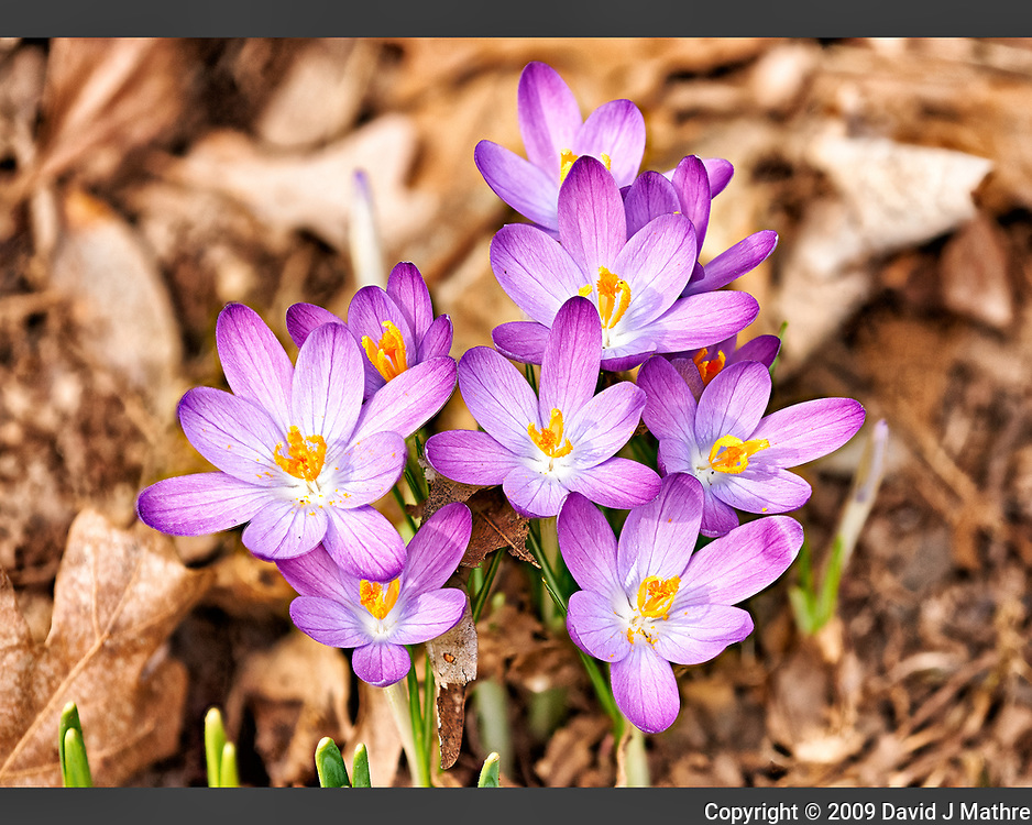 Purple crocus blooms. Late winter nature in New Jersey. Composite of 18 focus stacked images taken with a Nikon D3x camera and 200 mm f/2 lens (ISO 400, 200 mm, f/5.6, 1/500 sec). Raw images processed with Capture One Pro and Helicon Focus (method C)