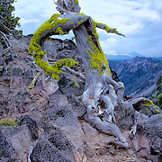 Photo of twisted weathered tree stump on the top of summit that looks down on caldera of Crater Lake NP.