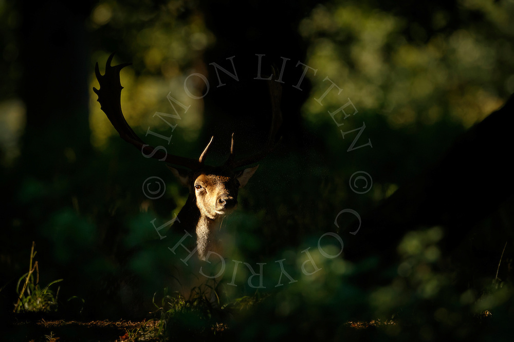 Fallow Deer (Dama dama) adult male sitting in woodland with head illuminated by morning light, North Norfolk, UK. September.