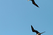 Dos aves tijera vuelan sobre la Cooperativa de Pescadores Rosita, Puerto Vallarta, Jalisco.
