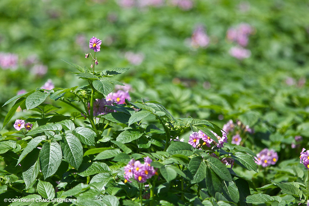 Field of potatoes in flower in Perthshire, Scotland