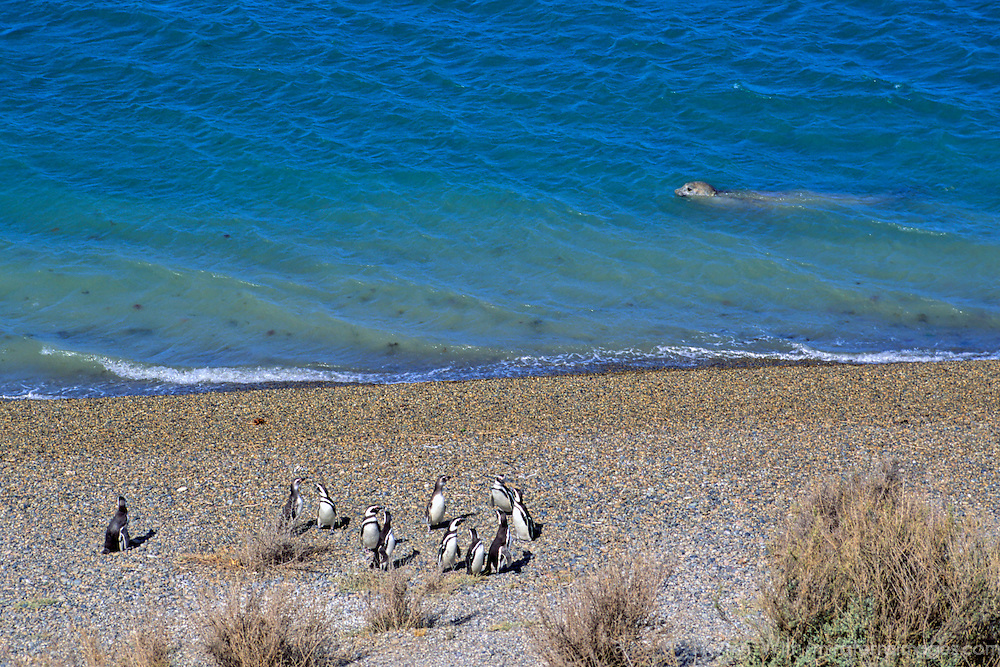 South America, Argentina, Valdes Peninsula. Penguin colony of the Valdes Peninsula.
