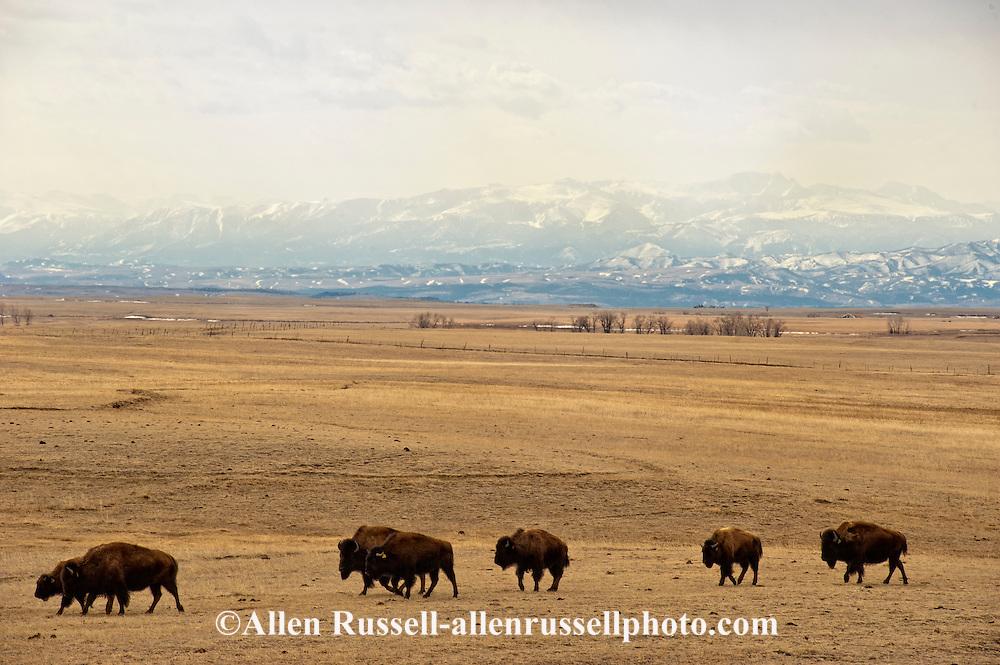 Bison, (bison bison), commercial herd, Absaroka Mountains, north of Big Timber, Montana