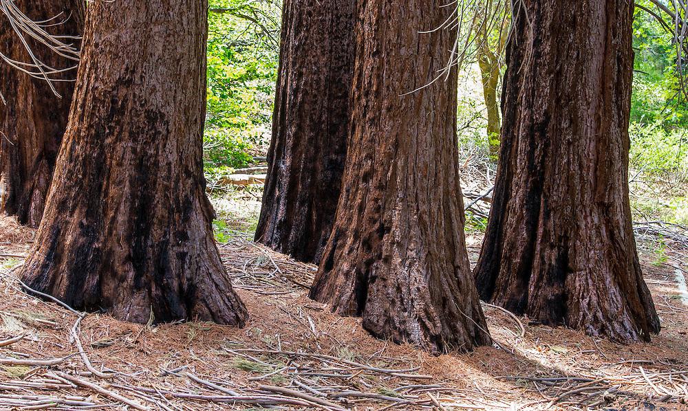Giant Sequoia tree trunks at Ann Henck Memorial Sequoia Grove at  Heaps Peak Arboretum.  Nearby Running Springs, Highway 18, California.