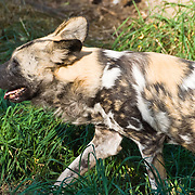 """The endangered African Wild Dog (Lycaon pictus, derived from the Greek for """"painted wolf"""") is a carnivorous mammal of the Canidae family, found only in Africa, especially in scrub savanna and other lightly wooded areas. It is also called the African Hunting Dog, the Cape Hunting Dog, the Spotted Dog, or the Painted Wolf in English, Wildehond in Afrikaans, and Mbwa mwitu in Swahili. It is the only species in the genus Lycaon. The African Wild Dog has a pelage (coat, or hair) with an irregular pattern of black, yellow, and white, distinctive for each individual. It is the only canid species to lack dewclaws on the forelimbs. Photographed in the Woodland Park Zoo, Seattle, Washington, USA."""