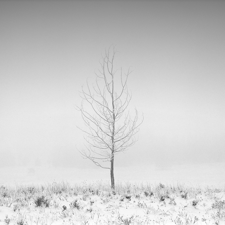 A lone tree in a foggy snow covered field