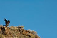 Golden Eagle (Aquila chrysaetos) Rock Lakes National Wildlife Refuge, Montana