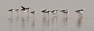 Black-winged stilts search for food in the shallow water of a lake in Serengeti.<br /> LIMITED EDITION PRINT