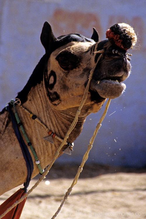 Asia, India, Pushkar. A camel at Pushkar.