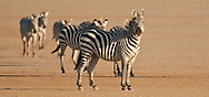We found these zebras just after dawn on the dry lakebed of Amboseli<br /> LIMITED EDITION PRINT