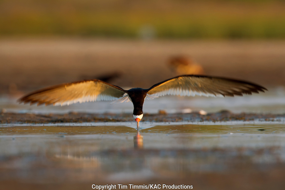 Black Skimmer, Rynchops niger, Bryan Beach, Texas gulf coast, skimming, head-on, beak in water, blurred wings
