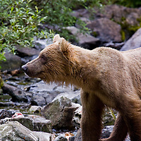 Young Grizzly or Brown Bear in the South of Alaska