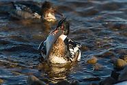 Waterfowl Onondaga Lake