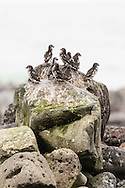 Least Auklets (Aethia pusilla) perched on boulder along the Bering Sea on St. Paul Island in Southwest Alaska. Summer. Afternoon.